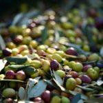 La Peranzana: una delle varietà più pregiate di olive per la produzione dell'olio pugliese