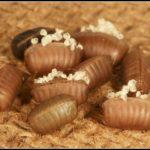 Uova di scarafaggio: un buon lavoro di disinfestazione delle blatte parte da qui